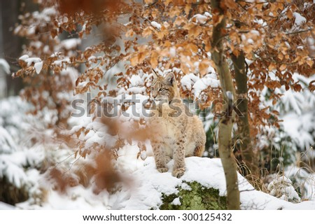 Eurasian lynx cub standing in winter colorful forest with snow. Orange trees in background. Freeze cold season. - stock photo