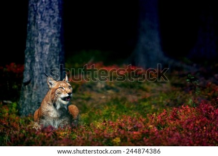 Eurasian lynx in magical colorful ground in the forest - stock photo