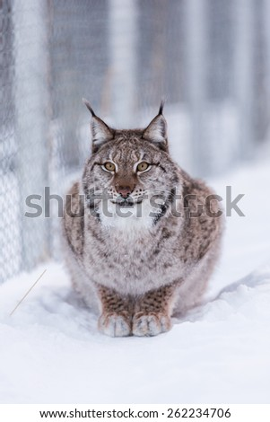 Eurasian Lynx in the snow couching near fence - stock photo