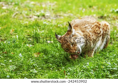 Eurasian lynx is a medium-sized cat native to European and Siberian forests, Central Asia and East Asia. - stock photo