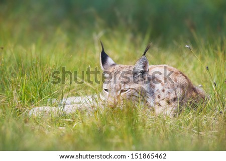 Eurasian lynx laying in the green grass. - stock photo