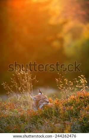 Eurasian lynx lying on the ground in beautiful colorful autumn sunset - stock photo