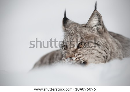 Eurasian Lynx (Lynx lynx). A Eurasian Lynx eating prey and partially hidden in deep snow. - stock photo