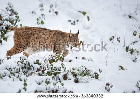 Eurasian Lynx (Lynx lynx) walking quietly in snow - stock photo