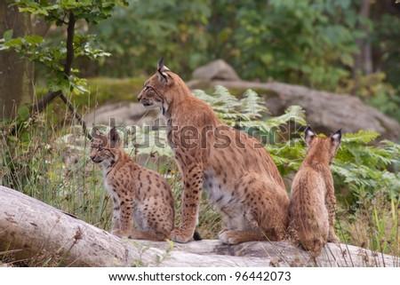 Eurasian lynx (Lynx lynx) with cubs - stock photo