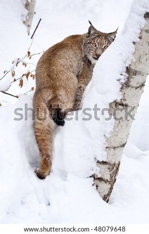 Eurasian lynx (Lynx lynxs) in the snow, half hidden by birch (betula). - stock photo