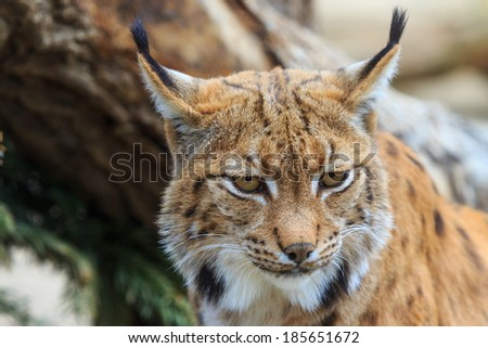 Eurasian lynx portrait close up - stock photo