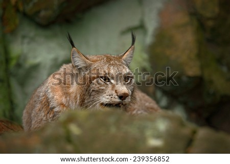 Eurasian Lynx sitting under rock - stock photo