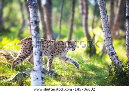 Eurasian lynx sneaks or stalking in the green forest. - stock photo