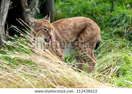Eurasian Lynx Standing in Long Grass Licking Nose - stock photo