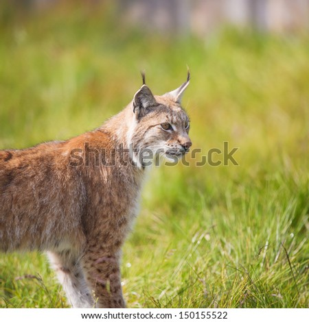 Eurasian lynx walking in the green grass. - stock photo