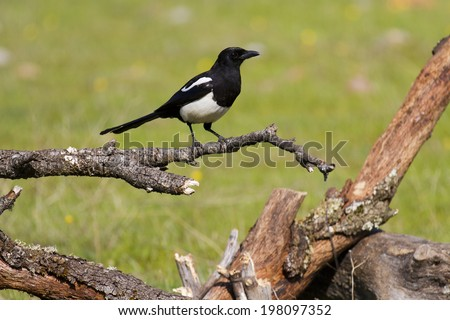 Eurasian Magpie Pica pica - stock photo