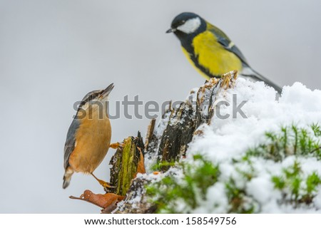 Eurasian Nuthatch and Great Tit in a food fight in winter - stock photo