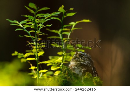 Eurasian pygmy owl next to the bilberry plant - stock photo