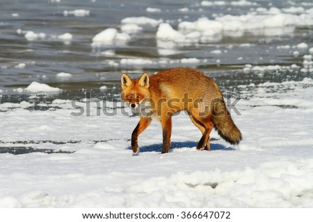 eurasian red fox walking on frozen surface of the lake ( Vulpes vulpes ) - stock photo