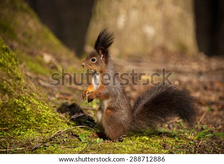Eurasian red squirrel (Sciurus vulgaris). Photo was taken in Roztochia (Ukraine, Europe).