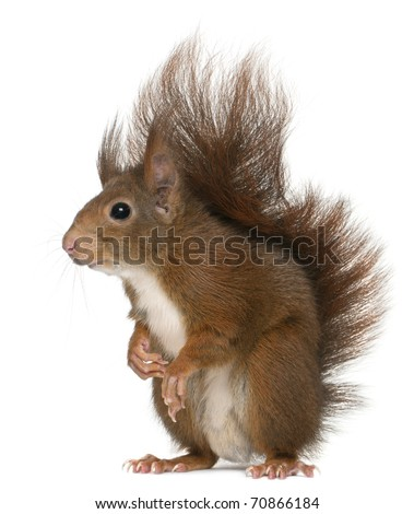 Eurasian red squirrel, Sciurus vulgaris, 4 years old, in front of white background - stock photo