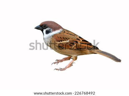 Eurasian Tree Sparrow bird on white background