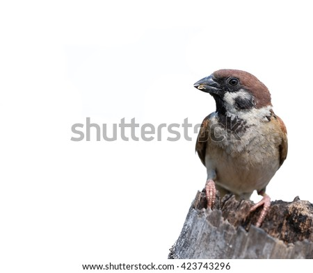 Eurasian Tree-Sparrow on dry bamboo