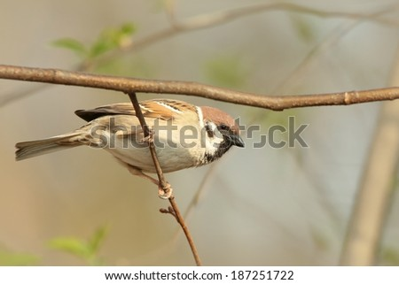 Eurasian Tree Sparrow (Passer montanus) on a branch.