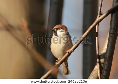 Eurasian Tree Sparrow (Passer montanus) on a twig. - stock photo
