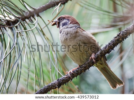 Eurasian tree sparrow (Passer montanus) with food for their young - stock photo