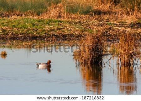 Eurasian Wigeon (anas penelope) on a pond in Essex - stock photo