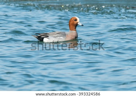 Eurasian Wigeon swimming in the icy water.