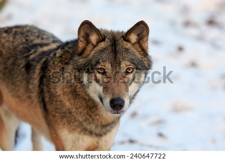 Eurasian wolf attention - stock photo