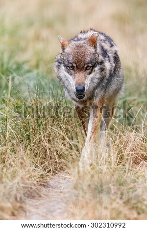 Eurasian wolf is running - stock photo