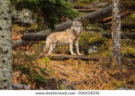 Eurasian wolf ran into a clearing and looks around