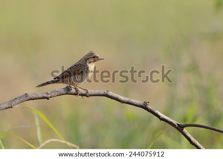 Eurasian wryneck, Spotted woodpecker ,Bird on the best perch