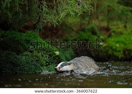 European badger stock photos royalty free images Habitat deutschland