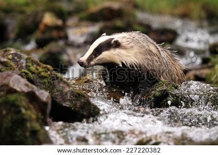 European badger, lat. Meles meles, bathing - stock photo