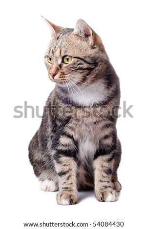 European beautiful young cat in front on a white background - stock photo