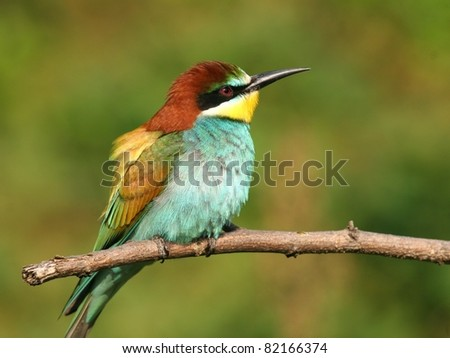 European bee-eater alighted on a branch, close-up - stock photo