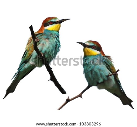 European bee-eater isolated on white background, Merops apiaster - stock photo