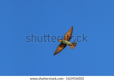 european bee-eater (Merops Apiaster) in fly - stock photo