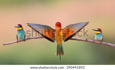 European bee-eater (Merops Apiaster) on a branch - stock photo