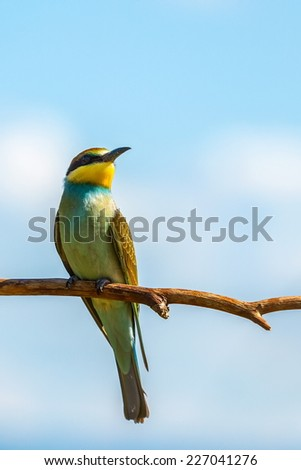 European bee-eater (Merops apiaster) on branch - stock photo