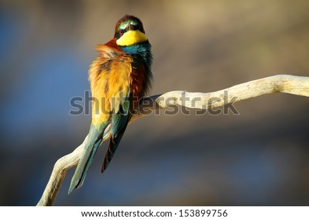 European Bee-eater (Merops apiaster) perched on a branch