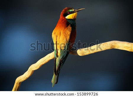 European Bee-eater (Merops apiaster) perched on a branch in early morning light
