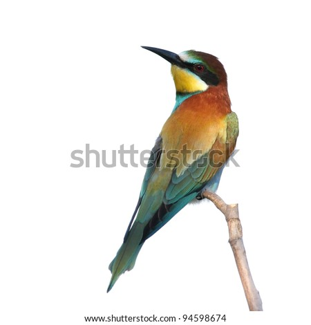European bee-eater perched on a branch, isolated on white - stock photo