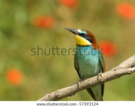european bee-eater perched on a twig, against field with poppy - stock photo