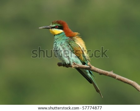 European bee-eater perched on a twig, with green background - stock photo