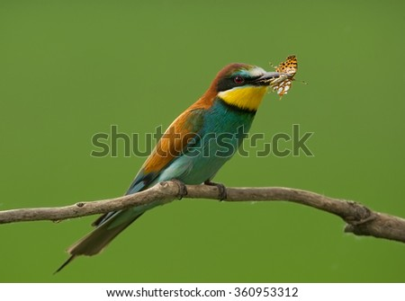 European Bee-eater with butterfly sitting on the branch with green background, Hungary, Europe