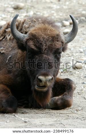 European bison (Bison bonasus).  - stock photo