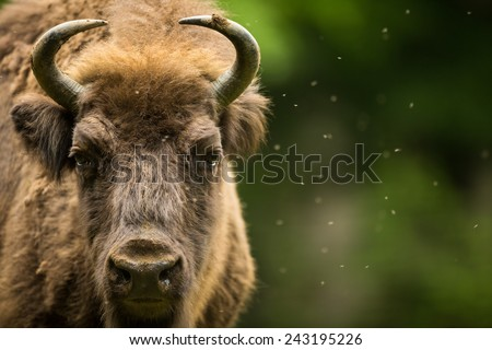 European bison (Bison bonasus) - stock photo