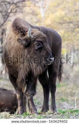European bison (Bison bonasus) has injured his leg. - stock photo