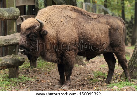 European bison (Bison bonasus) over grass field - stock photo
